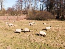 ciérrese para arriba del pasto de reclinación de las ovejas comiendo la hierba en primavera del verano del campo Fotos de archivo libres de regalías
