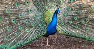 Ciérrese para arriba del pavo real que muestra sus plumas hermosas Foto de archivo libre de regalías