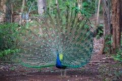 Ciérrese para arriba del pavo real que muestra sus plumas hermosas Fotografía de archivo