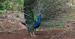 Ciérrese para arriba del pavo real que muestra sus plumas hermosas Fotos de archivo libres de regalías
