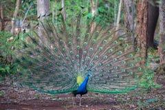 Ciérrese para arriba del pavo real que muestra sus plumas hermosas Fotografía de archivo libre de regalías