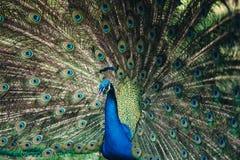 Ciérrese para arriba del pavo real que muestra sus plumas hermosas Varón hermoso del pavo real que exhibe su cola Foto de archivo libre de regalías