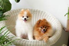 Ciérrese para arriba del perrito pomeranian lindo que miente en cama de madera Imagen de archivo libre de regalías