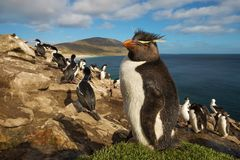 Ciérrese para arriba del pingüino meridional del rockhopper que se coloca en la hierba foto de archivo