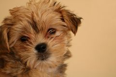 Ciérrese para arriba del puppie de Yorkie con el espacio del texto fotografía de archivo libre de regalías