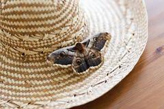 Ciérrese para arriba del pyri gigante del Saturnia de la polilla del pavo real que se sienta en el sombrero de paja Fotos de archivo