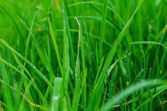 Ciérrese para arriba del rocío fresco de la mañana en hierba de la primavera imagenes de archivo