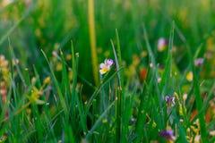 Ciérrese para arriba del rocío fresco de la mañana en hierba de la primavera imagen de archivo libre de regalías