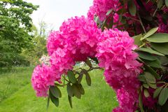 Ciérrese para arriba del rododendro rosado en jardín Foto de archivo libre de regalías