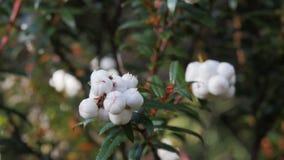 Ciérrese para arriba del snowberry tasmano blanco comestible, hispida del Gaultheria en el parque nacional de la montaña de la cu metrajes