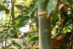 Ciérrese para arriba del tallo de bambú en el bosque por The Creek Fotos de archivo libres de regalías