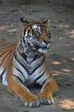 Ciérrese para arriba del tigre de Sumatran que pone en la tierra Foto de archivo