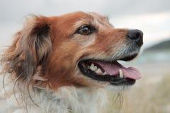Ciérrese para arriba del tipo rojo perro del collie de ovejas de la granja que se coloca en la duna de arena en una playa rural fotos de archivo