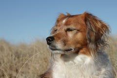 Ciérrese para arriba del tipo rojo suplente del collie del perro de ovejas de la granja fotos de archivo libres de regalías