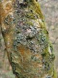Ciérrese para arriba del tronco de un árbol de abedul de plata con la corteza agrietada cubierta en diferentes tipos de liquenes  Fotos de archivo libres de regalías