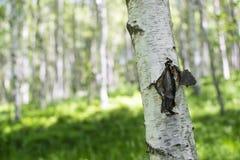 Ciérrese para arriba del tronco del árbol de abedul en bosque servio, en summe temprano Imagenes de archivo