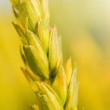 Ciérrese para arriba del tronco del trigo - composición cuadrada Foto de archivo libre de regalías