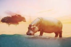 Ciérrese para arriba en el agua potable del hipopótamo Foto de archivo libre de regalías