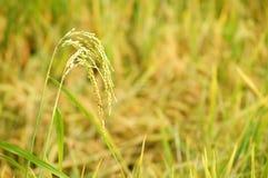 Ciérrese para arriba en el arroz de arroz Imágenes de archivo libres de regalías