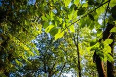 Ciérrese para arriba en el follaje verde destacado de las hojas de los árboles forestales del roble en cielo azul con los rayos d Imagen de archivo libre de regalías