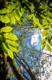 Ciérrese para arriba en el follaje verde destacado de las hojas de los árboles forestales del roble en cielo azul con los rayos d Imágenes de archivo libres de regalías