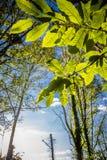 Ciérrese para arriba en el follaje verde destacado de las hojas de los árboles forestales del roble en cielo azul con los rayos d Imagenes de archivo