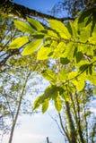 Ciérrese para arriba en el follaje verde destacado de las hojas de los árboles forestales del roble en cielo azul con los rayos d Foto de archivo