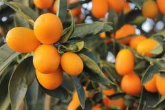 Ciérrese para arriba en el kumquat anaranjado fotos de archivo