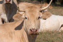Ciérrese para arriba en la cabeza de una vaca con las moscas Imagen de archivo