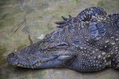 Ciérrese para arriba en la cabeza del cocodrilo con los dientes grandes fotos de archivo libres de regalías