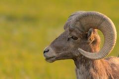 Ciérrese para arriba en la cara de las ovejas de Bighorn que miran a la izquierda imagen de archivo libre de regalías