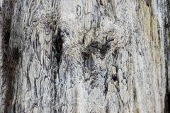 Ciérrese para arriba en la corteza del gypsaceum del taxodioxylon Imagen de archivo