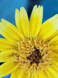 Ciérrese para arriba en la flor amarilla asombrosa imágenes de archivo libres de regalías