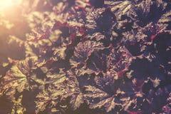 Ciérrese para arriba en la flor de Coral Bells de la obsidiana (Heuchera), Imagen de archivo libre de regalías