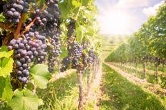 Ciérrese para arriba en las uvas rojas negras en un viñedo Foto de archivo libre de regalías