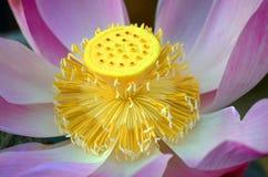 Ciérrese para arriba en loto Foto de archivo libre de regalías