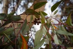 Ciérrese para arriba en rama del eucalipto con los brotes de flor Fotografía de archivo