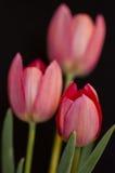 Ciérrese para arriba en tres tulipanes Imágenes de archivo libres de regalías