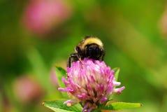 Ciérrese para arriba en una abeja del manosear Imagen de archivo