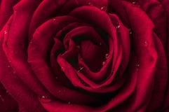 Ciérrese para arriba en una flor hermosa de la rosa del rojo Fotografía de archivo libre de regalías
