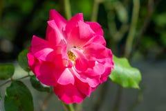 Ciérrese para arriba en una rosa rosada hermosa imagen de archivo libre de regalías