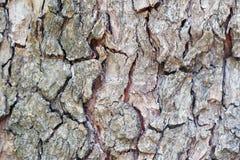 Ciérrese para arriba fondo de madera de la corteza de la secoya de viejo fotos de archivo