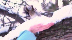 Ciérrese para arriba para la ardilla gris en la rama nevosa hasitating para acercarse a la mano de la mujer en un parque del invi almacen de video