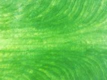 Ciérrese para arriba para las líneas de la textura de una licencia verde fresca del cococasia imagen de archivo