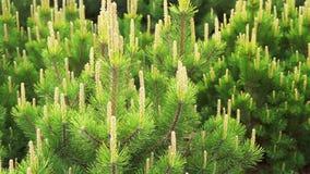 Ciérrese para arriba las ramas de árbol del pino o de abeto que mueven encendido el viento almacen de metraje de vídeo