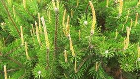 Ciérrese para arriba las ramas de árbol del pino o de abeto que mueven encendido el viento almacen de video