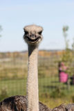 Ciérrese para arriba para arriba de avestruz Imágenes de archivo libres de regalías