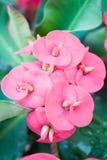 Ciérrese para arriba para las flores del Poi Sian fotos de archivo libres de regalías