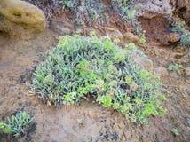 Ciérrese para arriba planta de la orilla de mar del maritimum de la roca Samphire - de Crithmum Planta de Kritamos que crece en l foto de archivo