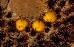 Ciérrese para arriba sobre un cactus con los flores foto de archivo